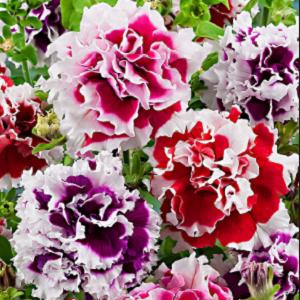 Fiori Grandi.Petunia Grandi Fiori Mix Oroseeds