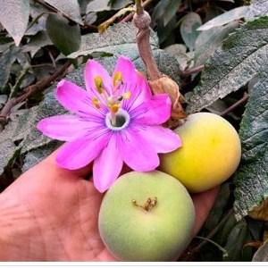 Passiflora Coactilis Oroseeds